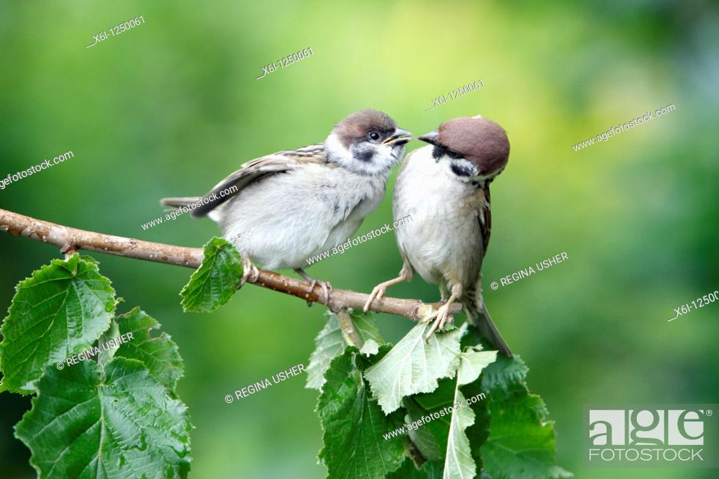 Stock Photo: Tree Sparrow Passer montanus, young bird begging for food from parent, Germany.