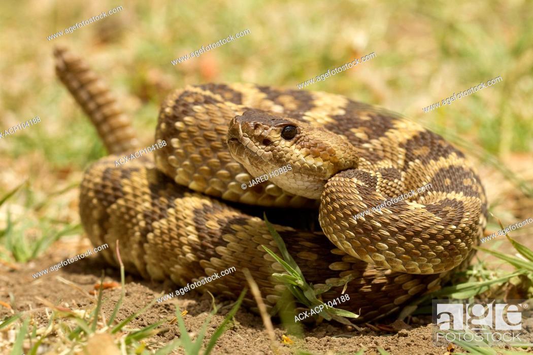 Arizona Black Tailed Rattlesnake Crotalus Molossus Sonoran Desert