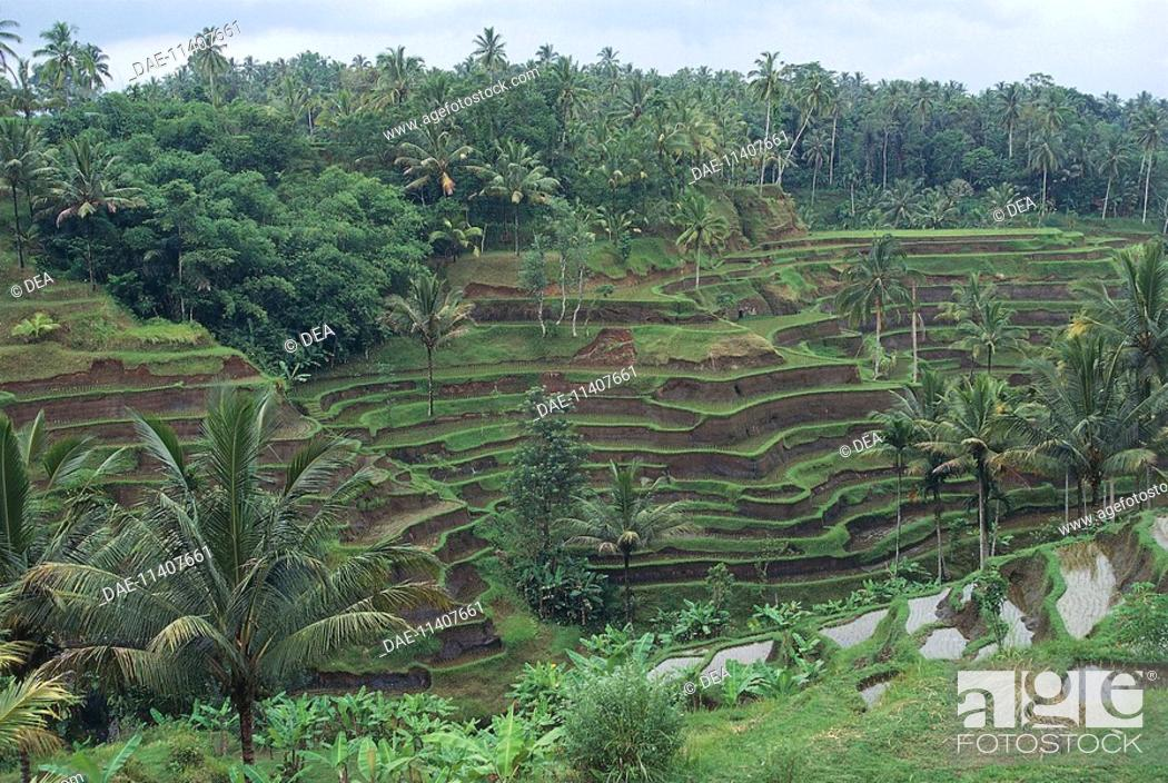 Stock Photo: Rice terraces near Tegalalang, Bali, Indonesia.