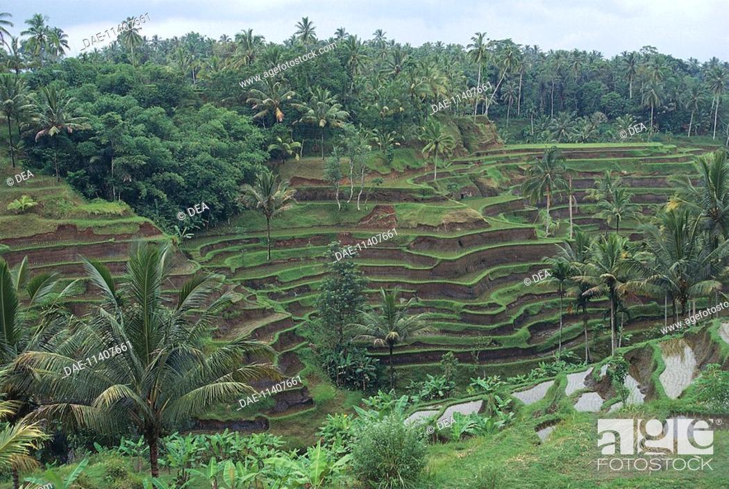 Imagen: Rice terraces near Tegalalang, Bali, Indonesia.