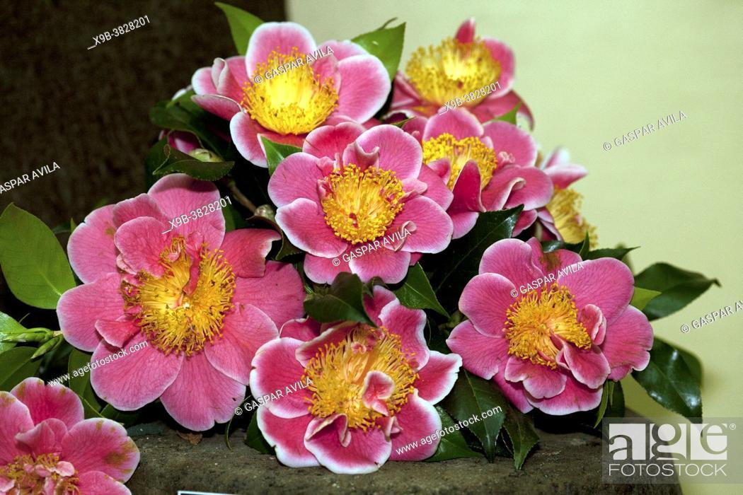 "Imagen: Camellia japonica """"Tama Beauty"""" on exhibition in Furnas Valley (""""Vale das Furnas""""), Sao Miguel, Azores islands, Portugal."