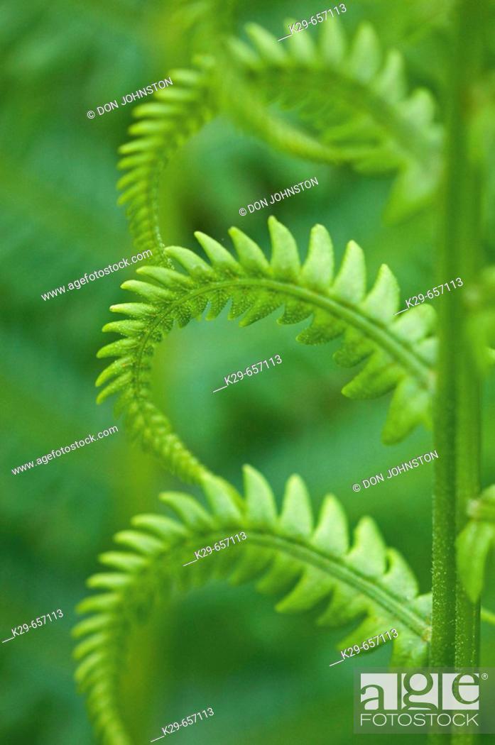 Stock Photo: Cinnamon fern (Osmunda cinnamomea), detail of emerging fronds.