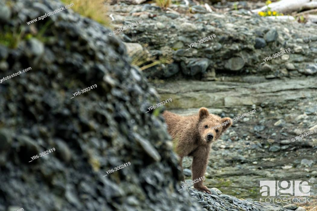 Imagen: A Brown bear spring cub peeks out from behind a bluff on the beach at the lower lagoon at the McNeil River State Game Sanctuary on the Kenai Peninsula, Alaska.