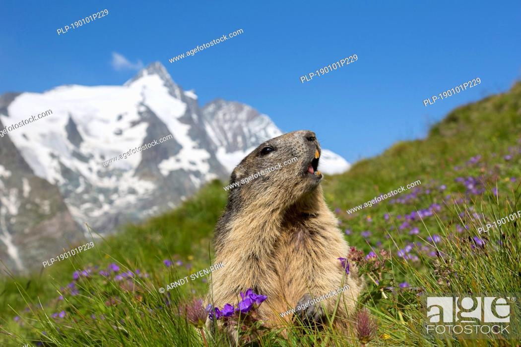 Stock Photo: Alpine marmot (Marmota marmota) calling in front of the snow covered mountain Grossglockner, Hohe Tauern National Park, Carinthia, Austria.