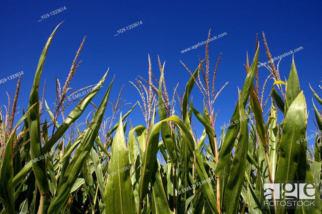 Stock Photo: Maize field  LLeida  Spain.