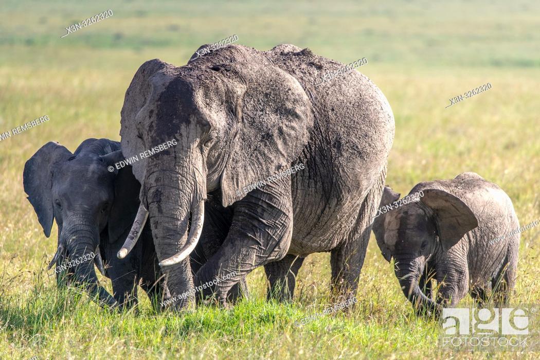 Stock Photo: Three African bush elephants (Loxodonta africana), aka African savanna elephants in Maasai Mara National Reserve , Kenya.