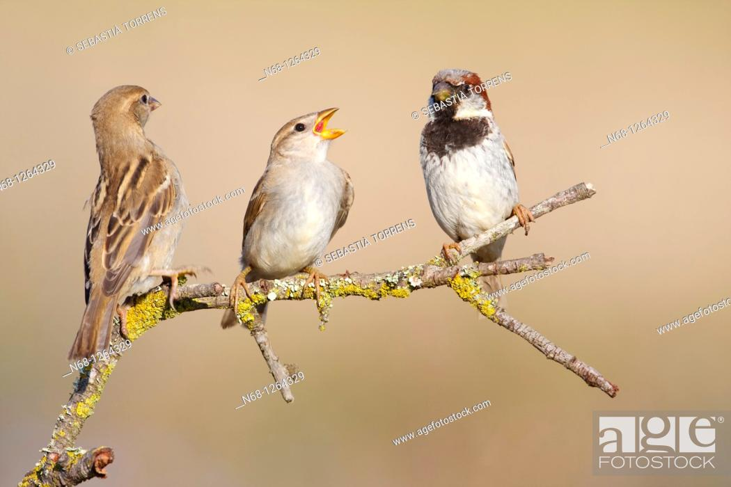 Stock Photo: Family of House Sparrow Parus domesticus on a branch, Majorca, Spain.