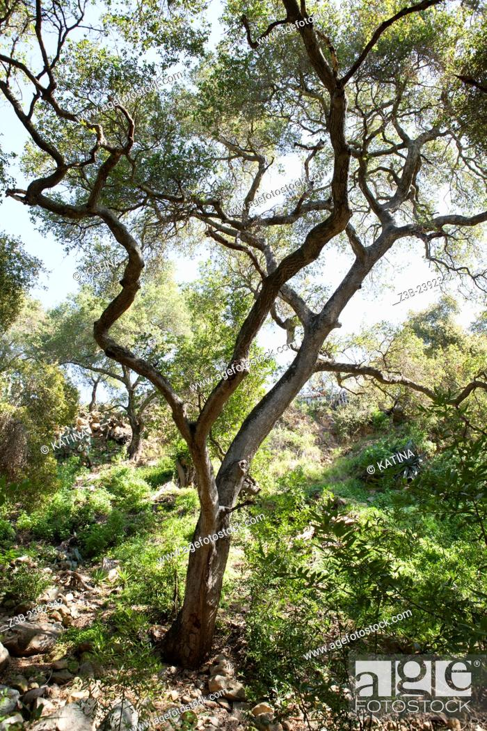 Stock Photo: Quercus agrifolia, common name: coast live oak, lines a path through the Santa Barbara Botanic Garden; Santa Barbara; Santa Barbara County; California; CA; USA.