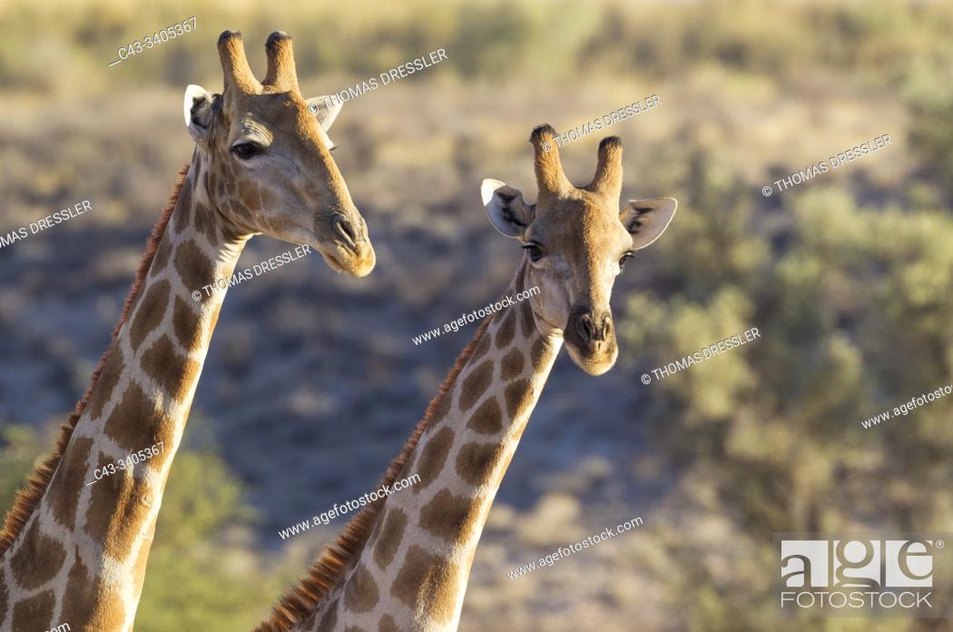 Stock Photo: Southern Giraffe (Giraffa giraffa). Two males. Kalahari Desert, Kgalagadi Transfrontier Park, South Africa.