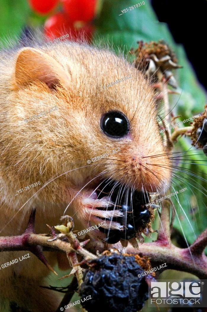Stock Photo: Common Dormouse, muscardinus avellanarius, Adult eating Blackberry, Normandy.