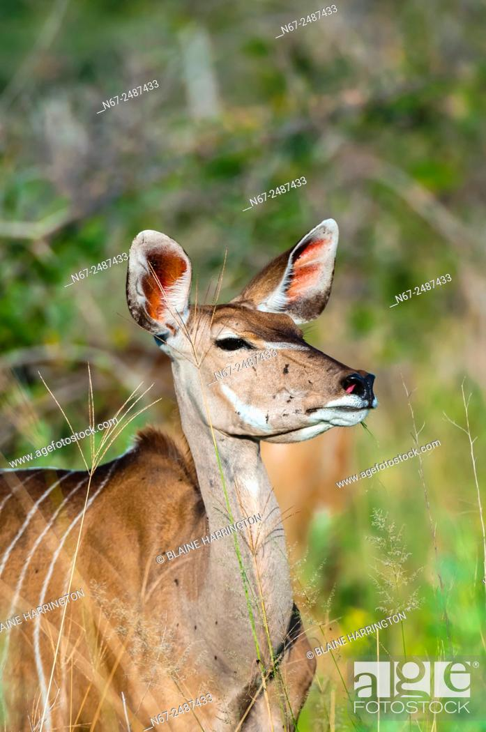 Stock Photo: Kudu (antelope), Kwando Concession, Linyanti Marshes, Botswana.