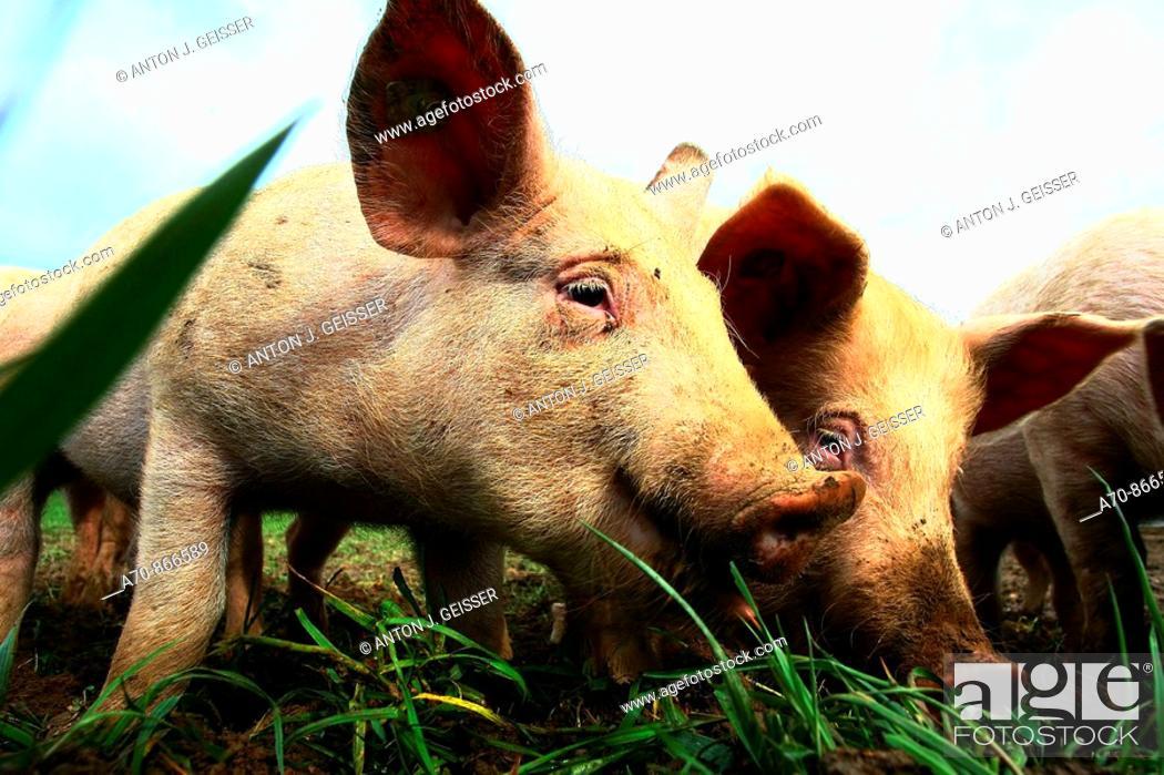 Stock Photo: Pigs. Switzerland.