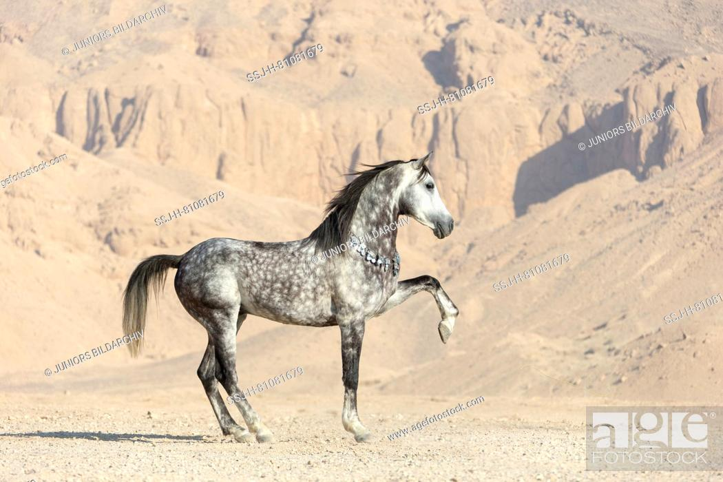 Purebred Arabian Horse Grey Stallion Showing Off In The Desert Egypt Stock Photo Picture And Rights Managed Image Pic Ssj H 81081679 Agefotostock