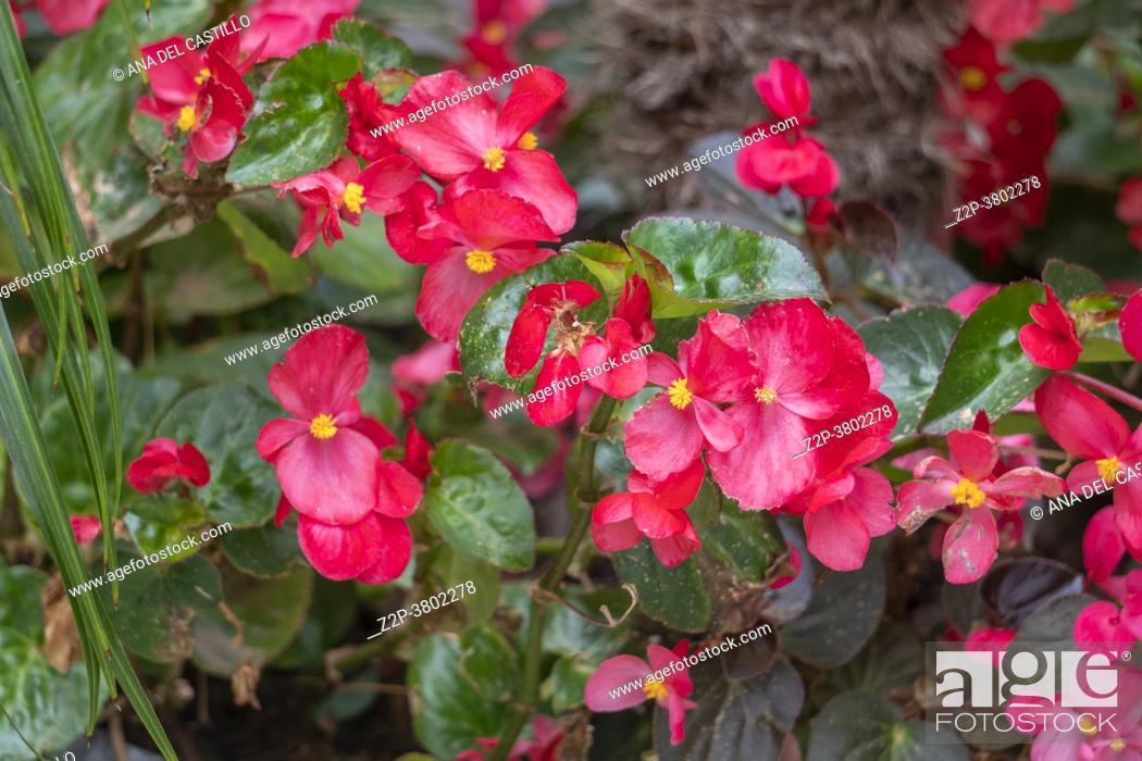 Stock Photo: Red begonia flower in flower garden Elche Spain.