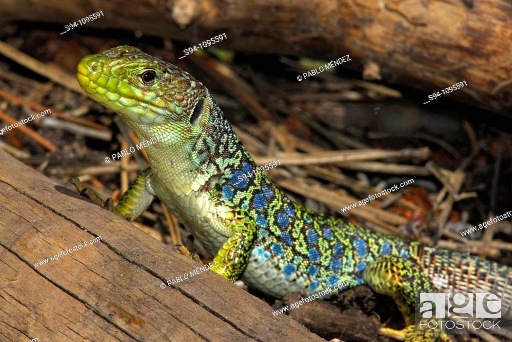 """Imagen: Ocellated lizard """"""""Timon lepidus"""""""" in Barranco del Cabrerizo area, Albarracin mountain range, Teruel, Aragon, Spain."""