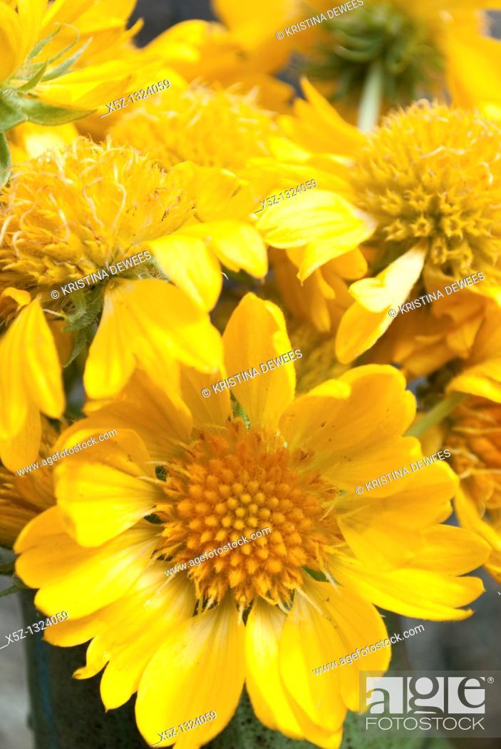 Stock Photo: Gold Goblin Gaillardia blossoms in a green vase.