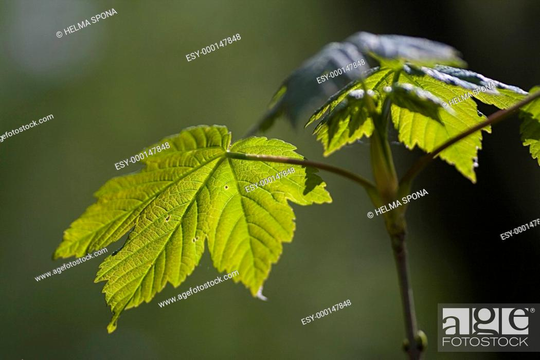 Ahornkeimling Stock Photos And Images Age Fotostock
