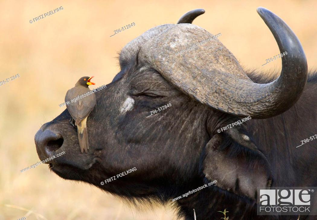 Stock Photo: Yellowbilled Oxpecker (Buphagus africanus) and Cape Buffalo (Syncerus caffer). Masai Mara. Kenya.