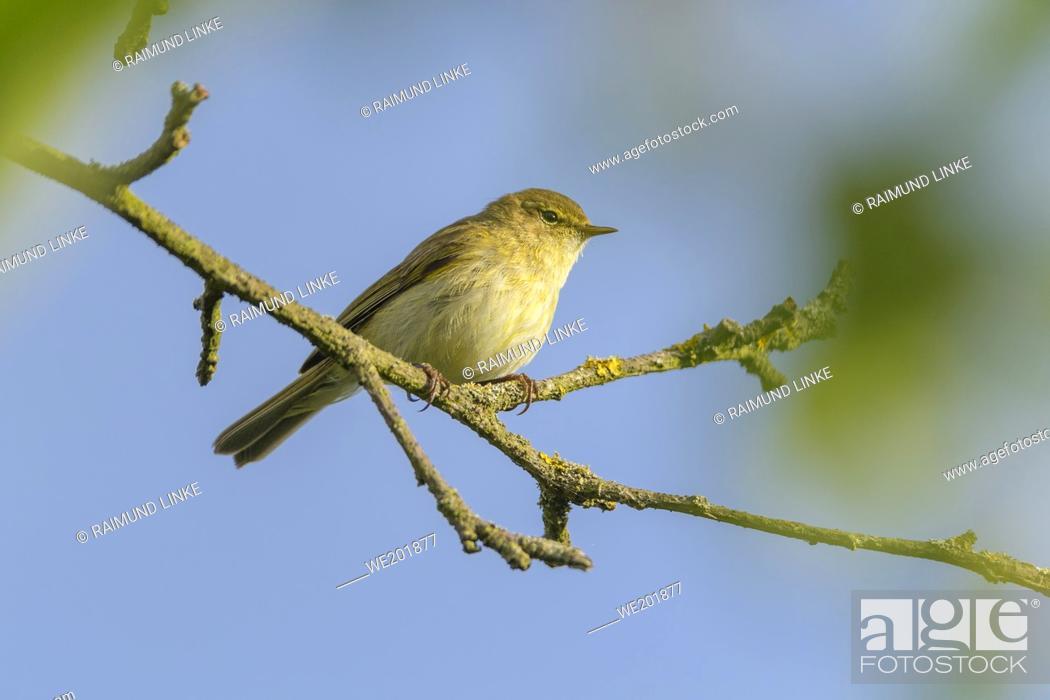 Imagen: Willow warbler, Phylloscopus trochilus, sit on branch.