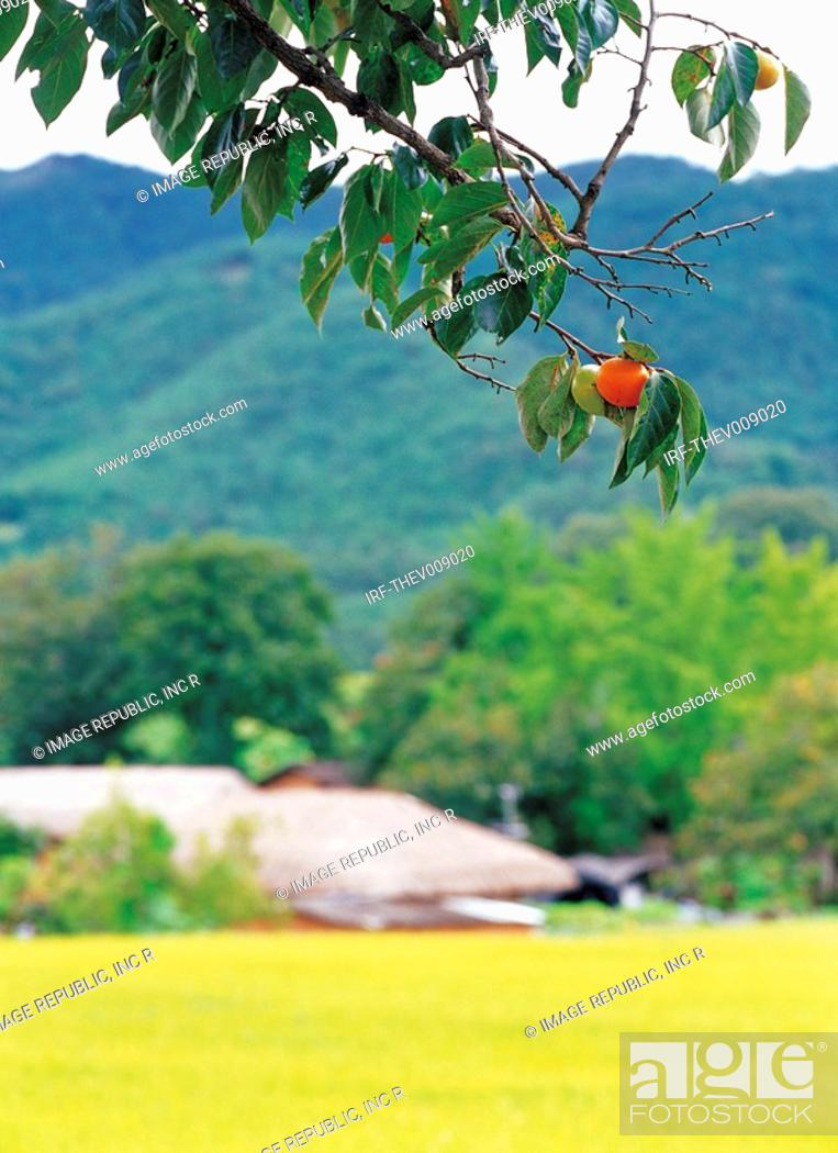 Stock Photo: persimmon hung on the boughs.