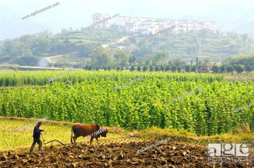 Stock Photo: Farmer plowing fields with Bull Ox on rich valley farmland at Yanggancun hilltop village China.