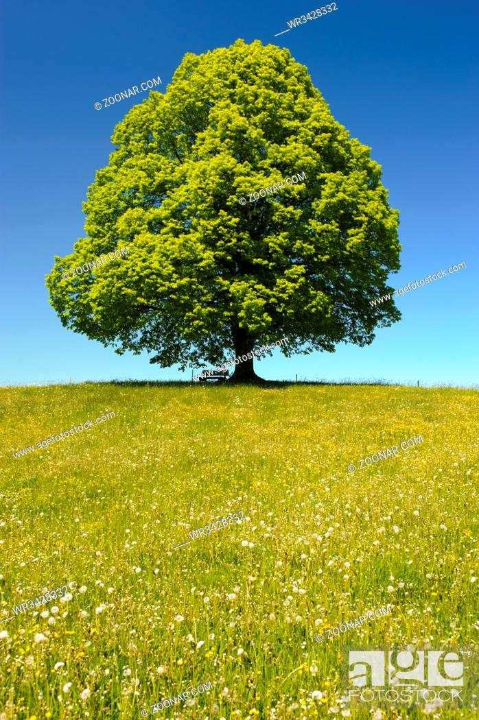 Stock Photo: single big linden tree in field with perfect treetop.