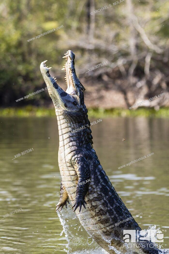Stock Photo: A yacare caiman, Caiman yacare, being baited to leap, Pousado Rio Claro, Brazil.