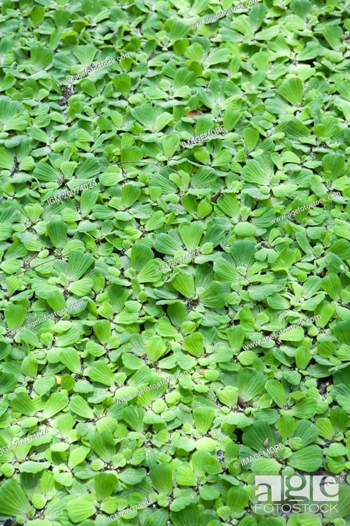 Stock Photo: Water Lettuce.