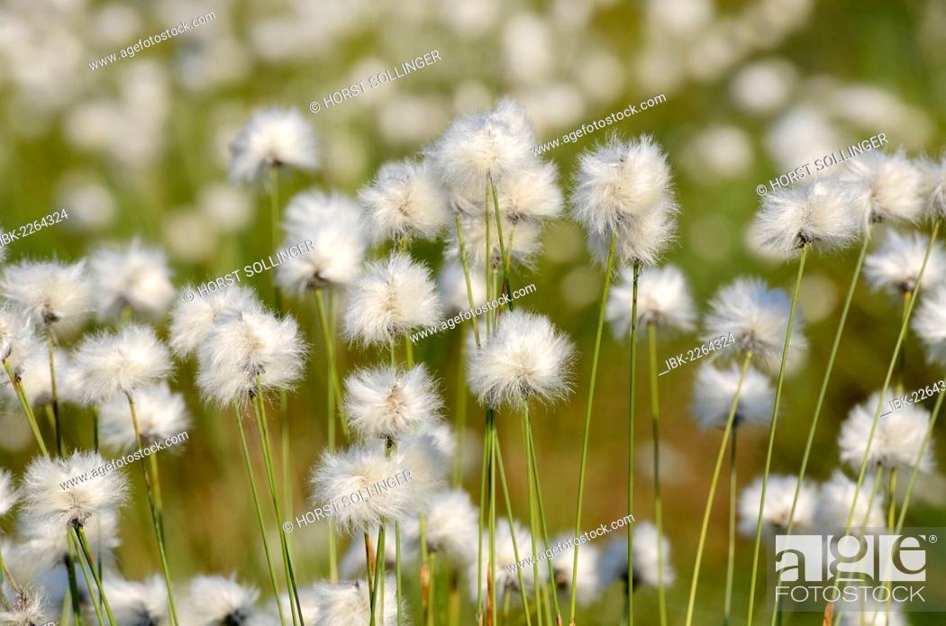 Stock Photo: Flowering Hare's-tail Cottongrass, Tussock Cottongrass or Sheathed Cottonsedge (Eriophorum vaginatum), Grundbeckenmoor near Rosenheim, alpine upland, Bavaria.