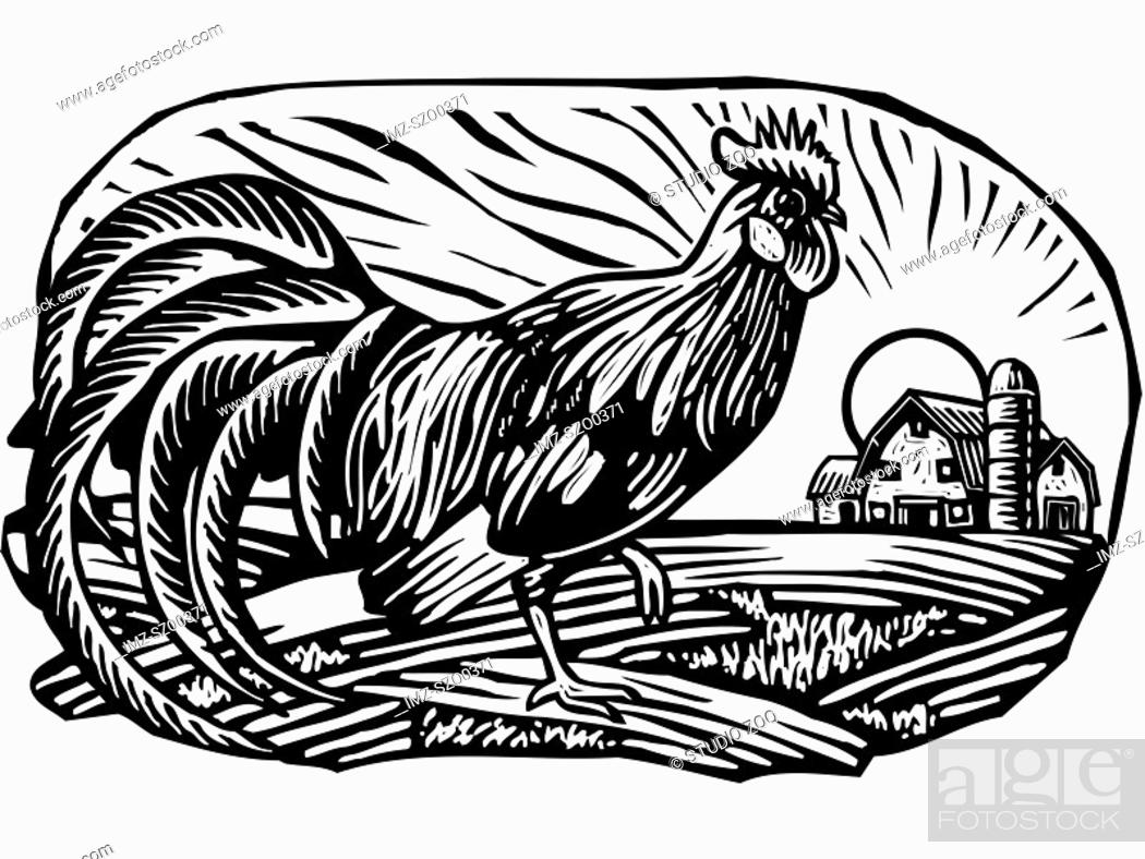 Stock Photo: Rooster with barn in the background, black and white.