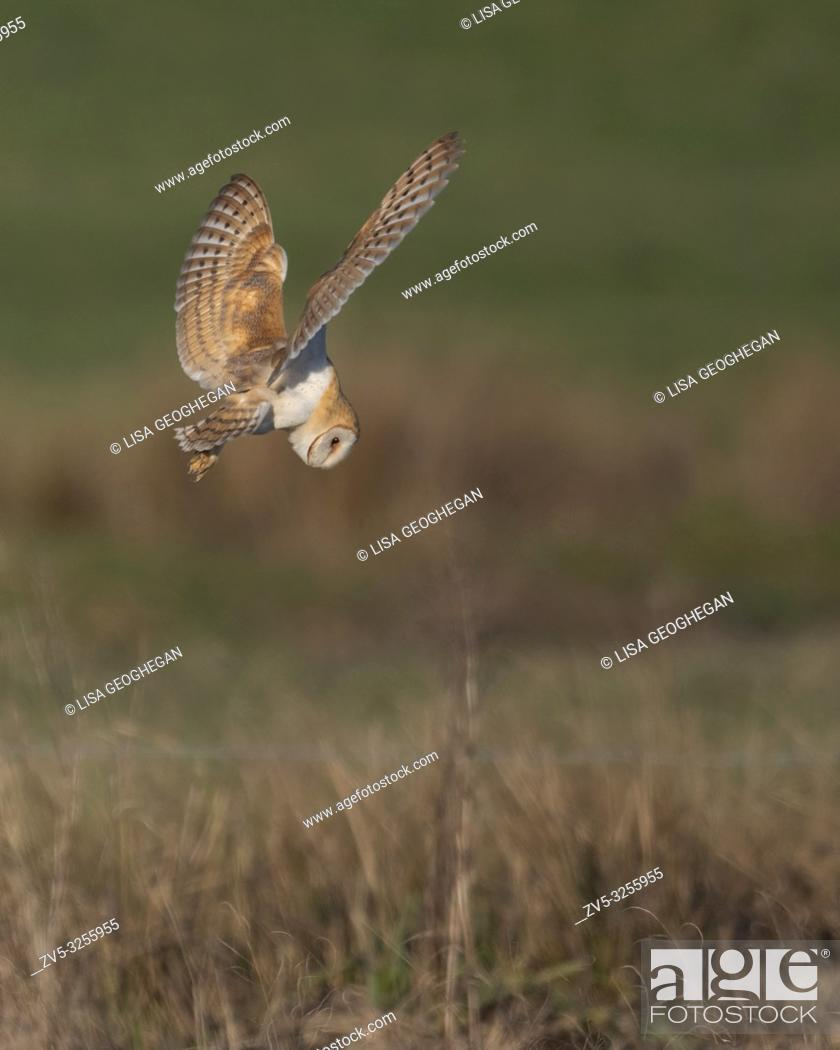 Imagen: Barn Owl-Tyto alba dives to catch prey. Winter. Uk.