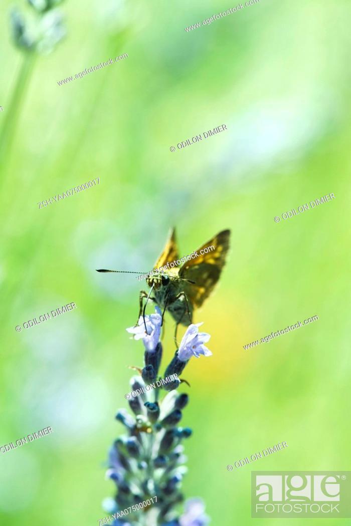 Stock Photo: Variegated Fritillary butterfly euptoieta claudia drinking nectar from lavender flower.