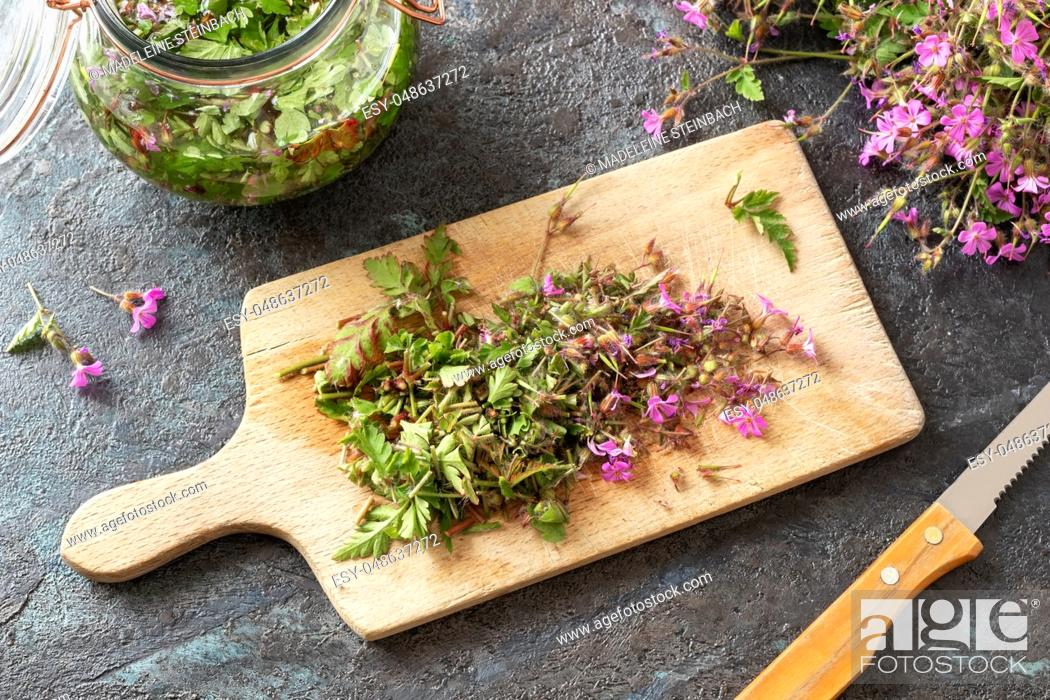 Imagen: Cutting up fresh herb-Robert, or Geranium robertianum plant to prepare homemade herbal tincture.