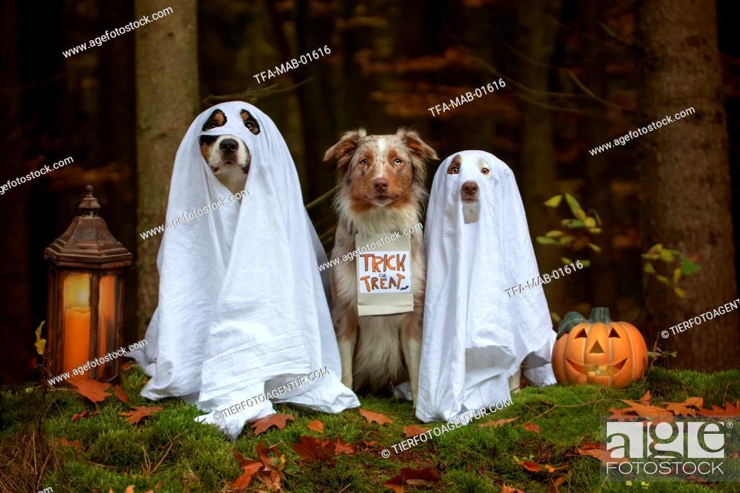 Imagen: Australian Shepherd to Halloween.