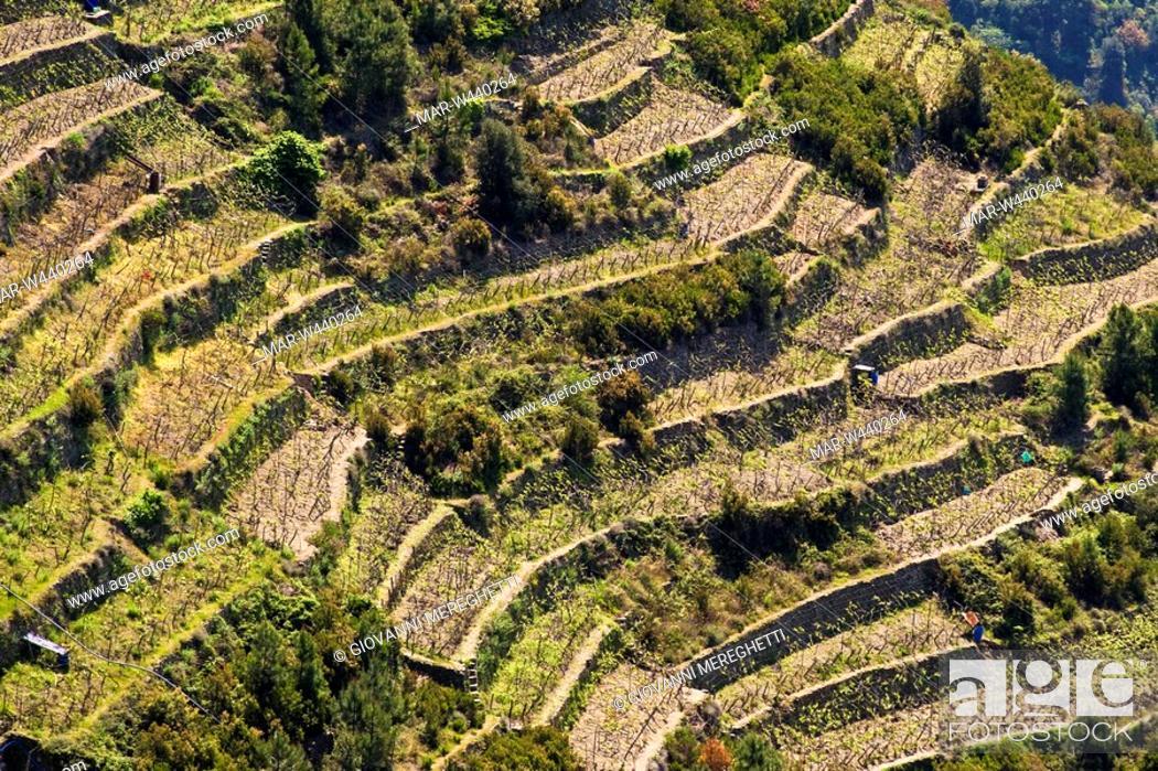terrazzamenti, corniglia, cinque terre, liguria, italia, Stock Photo ...