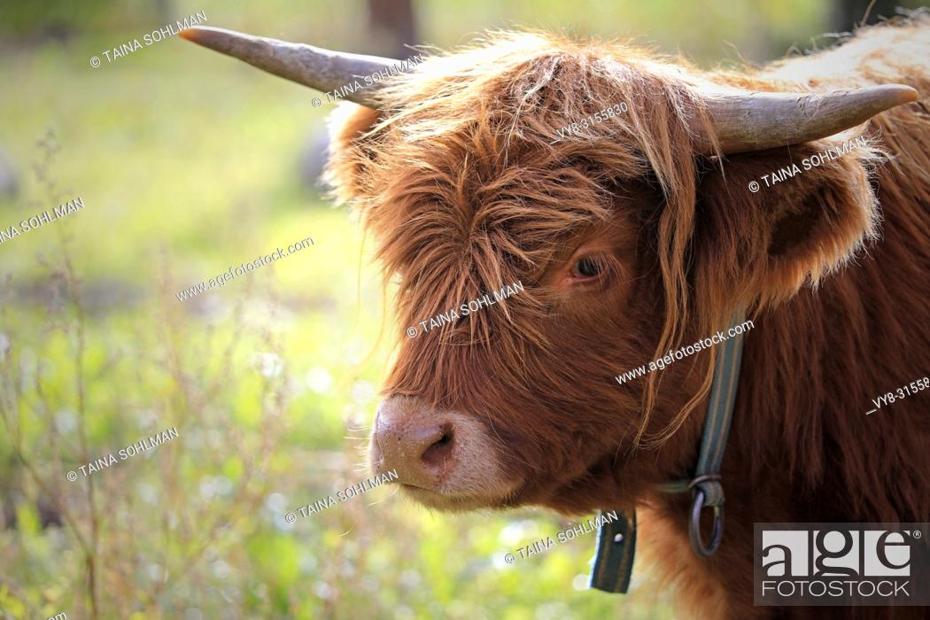 Stock Photo: Portrait of young Highland Bull standing on a meadow.