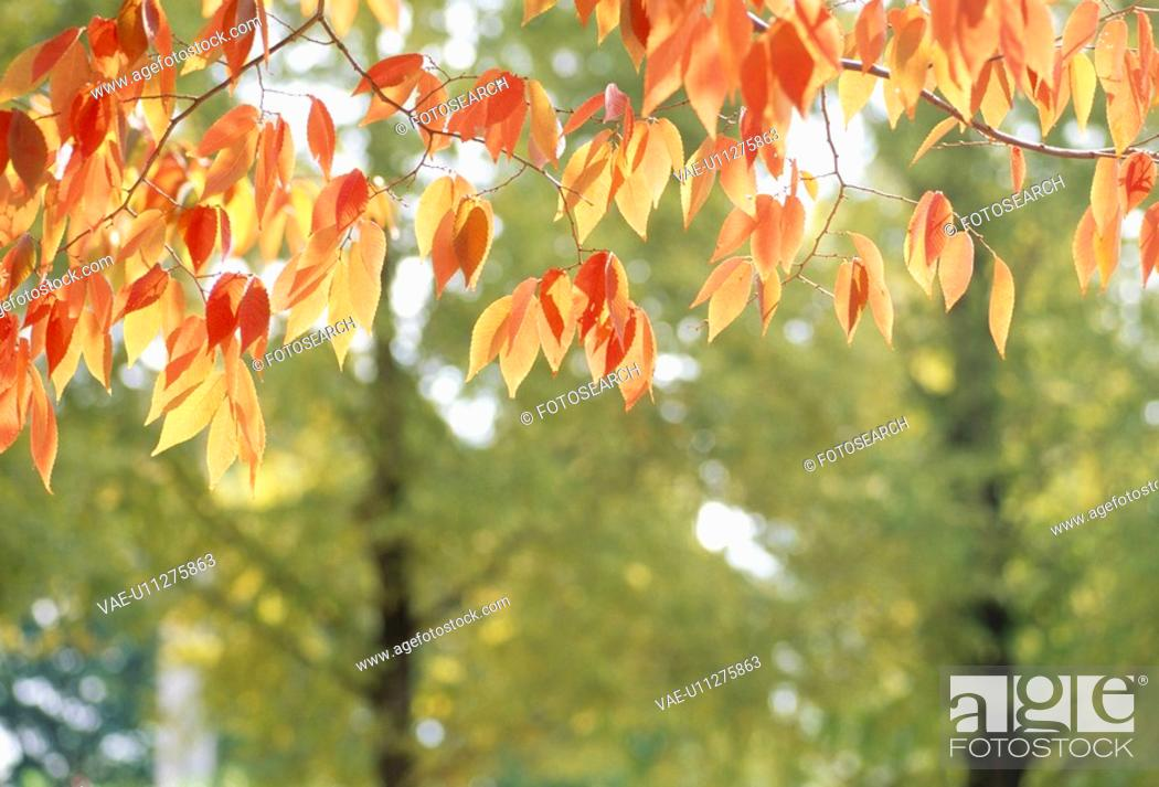Stock Photo: Goby Autumn Leaves.
