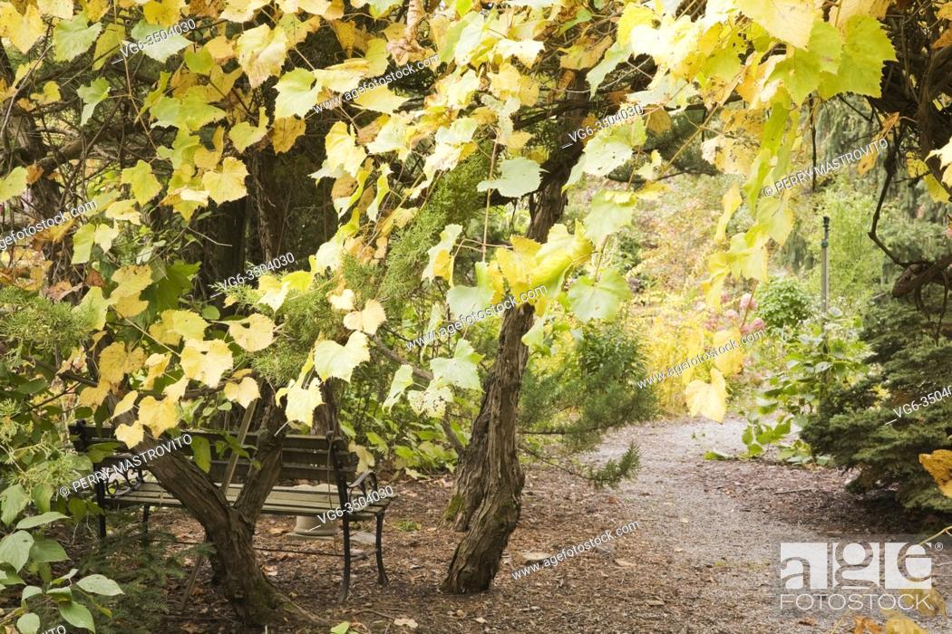 Stock Photo: Vitis - Ste-Croix climbing grapevine and a garden bench next to a gravel path in backyard garden in autumn.