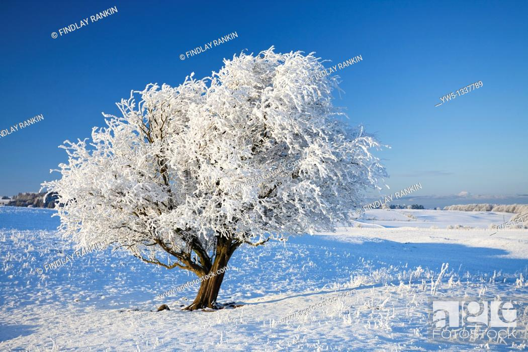 Stock Photo: Hoar frost on reeds and a small tree, Eaglesham Moor, Glasgow,Scotland  Summit of Ben Lomond visible on the horizon to the right of the tree.