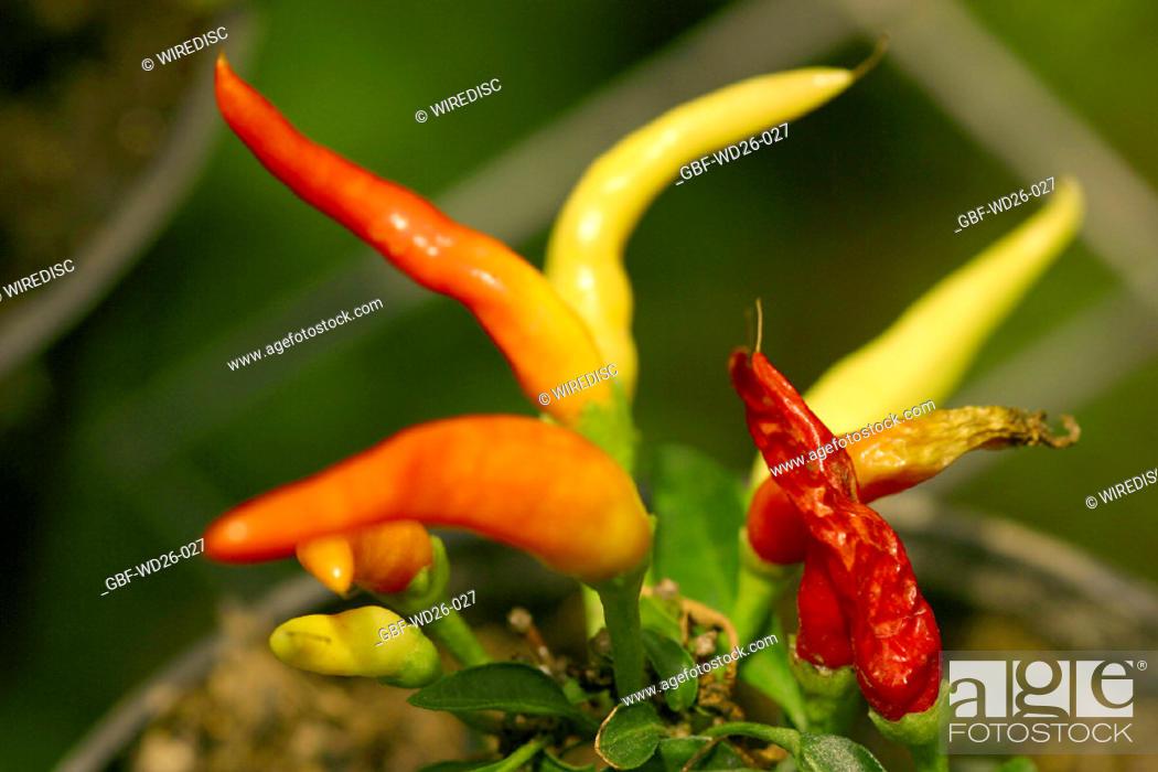 Stock Photo: Nature, plant, pepper.
