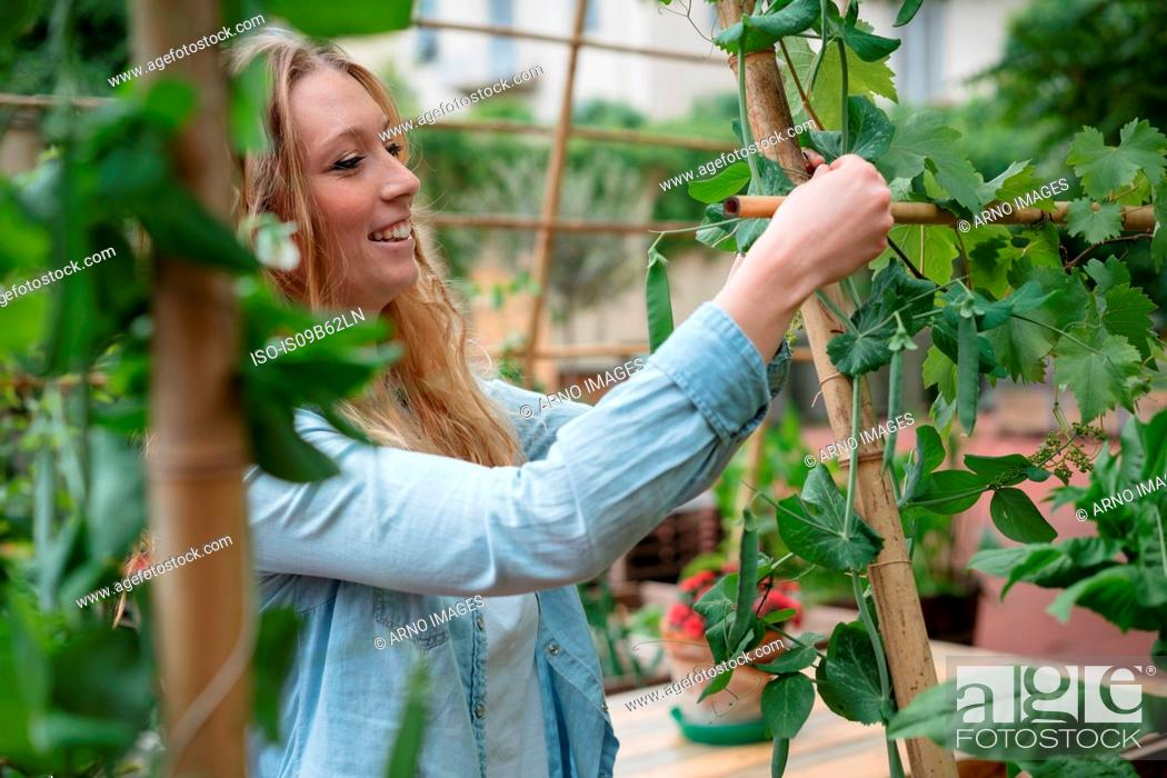 Stock Photo: Young woman in urban garden, wrapping growing plants around wooden canes.