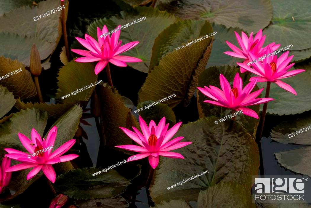 Imagen: close up pink color fresh lotus blossom or water lily flower blooming on pond background, Nymphaeaceae.