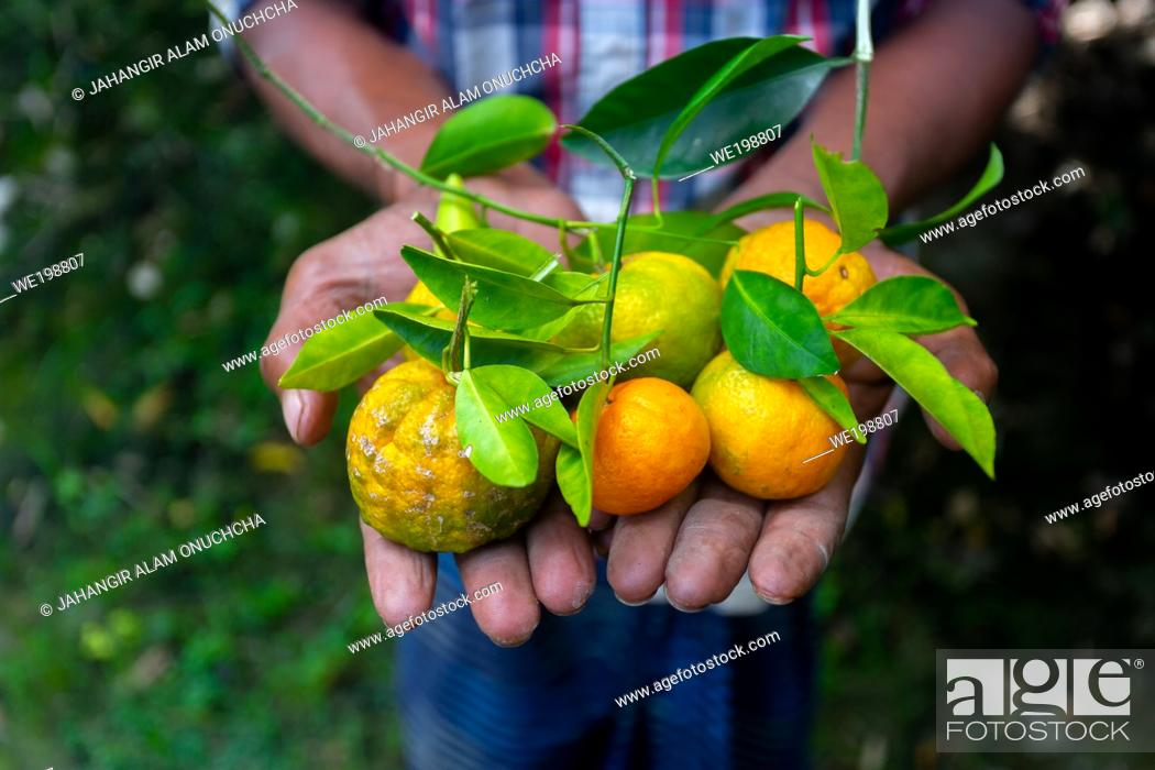 Stock Photo: A man displaying on his hand tangerine and citrus fruits. Ripe and unripe citrus fruits.