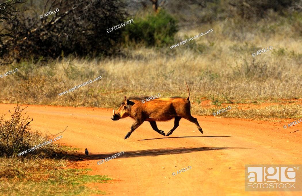 Stock Photo: Warthog, Phacochoerus africanus, running across a dirt road, Madikwe Game Reserve, South Africa.
