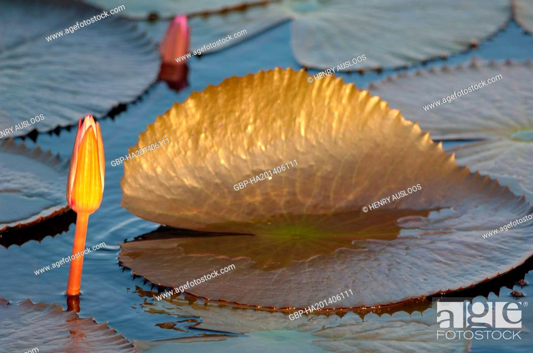 Stock Photo: Red Indian water lily ( Nymphaea pubescens) - Closed flower - Thailand.