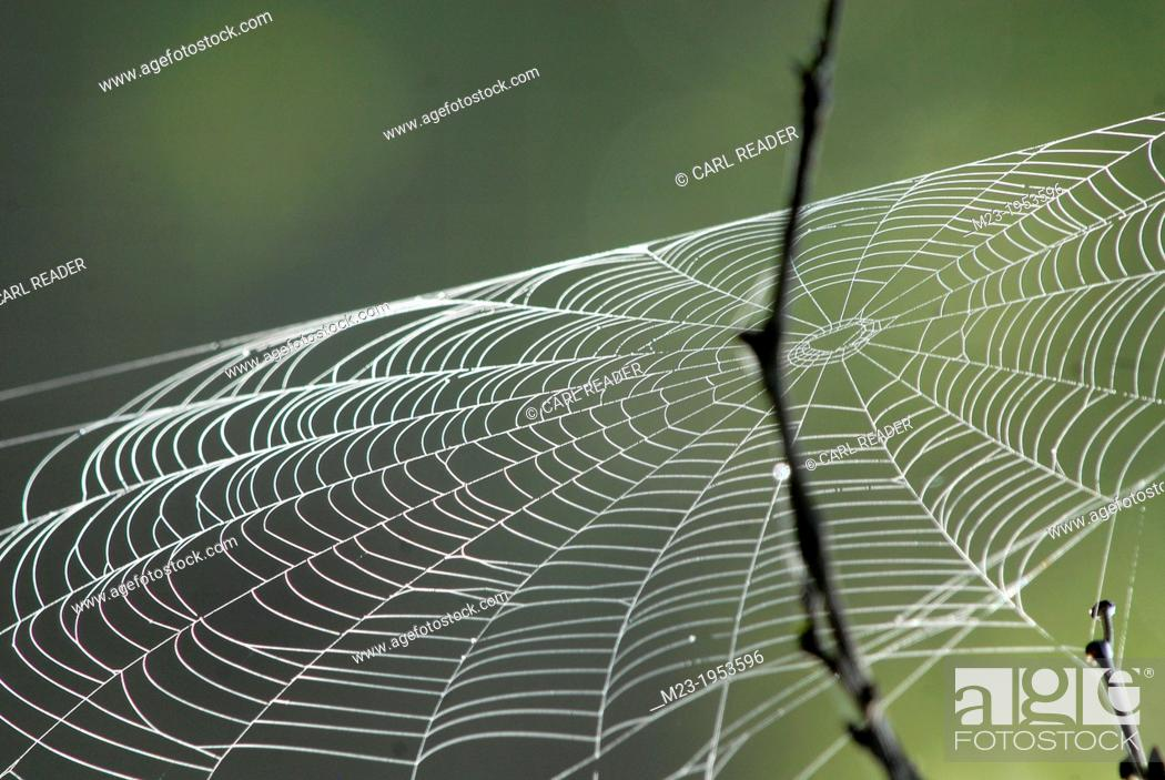 Stock Photo: A spider web catches the wind at dawn, Pennsylvania, USA.