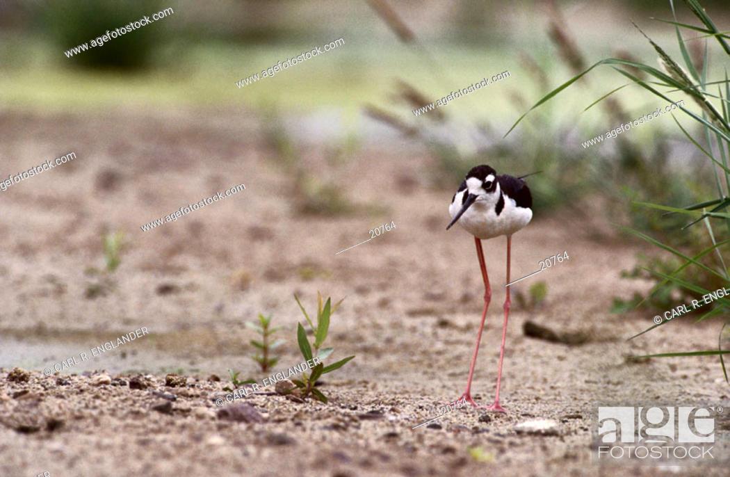 Stock Photo: Adult Black-necked Stilt (Himantopus mexicanus) on sand, California, USA.