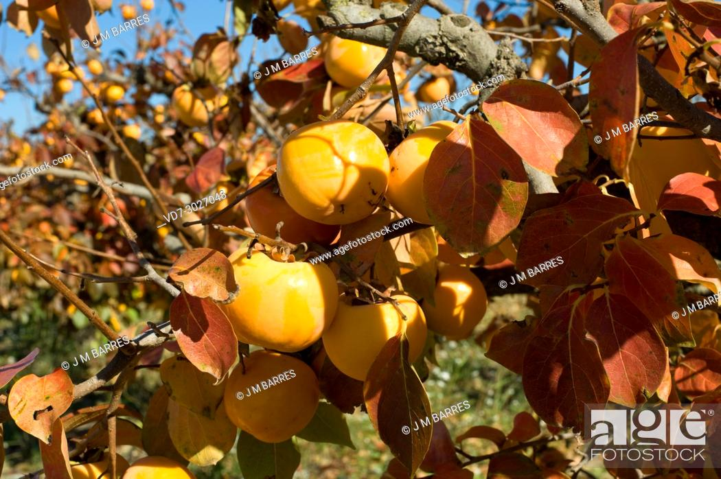 Stock Photo: Kaki or persimmon (Diospyros kaki) is a deciduous tree native to China but widely cultivated for its edibles fruits. This phot was taken in Baix Llobregat.
