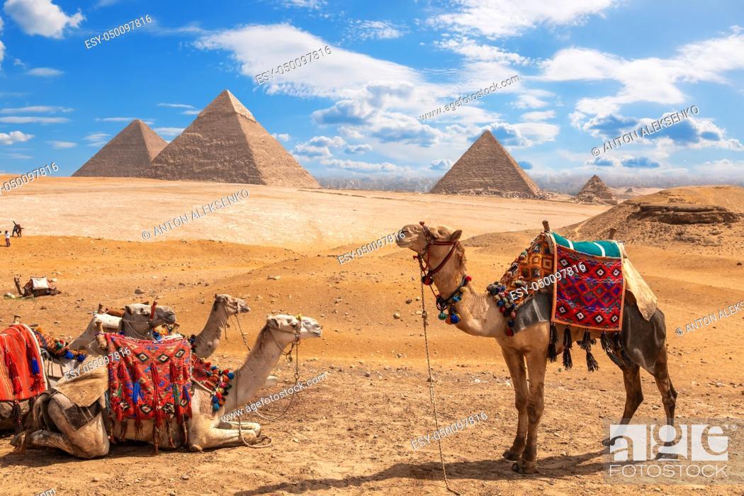 Stock Photo: Camels on a halt near the three Pyramids of Giza.