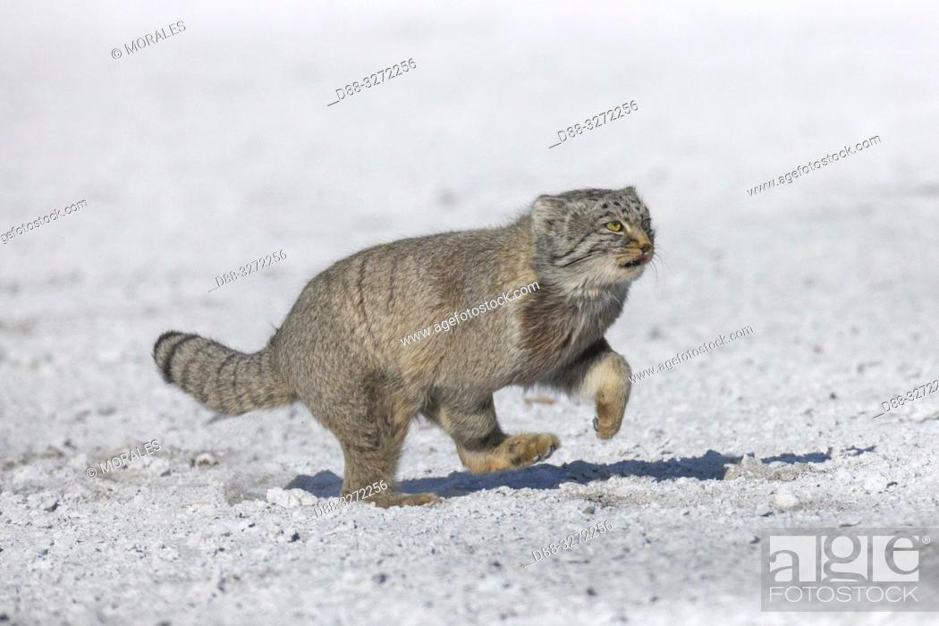 Stock Photo: Asia, Mongolia, East Mongolia, Steppe area, Pallas's cat (Otocolobus manul), moving, running.